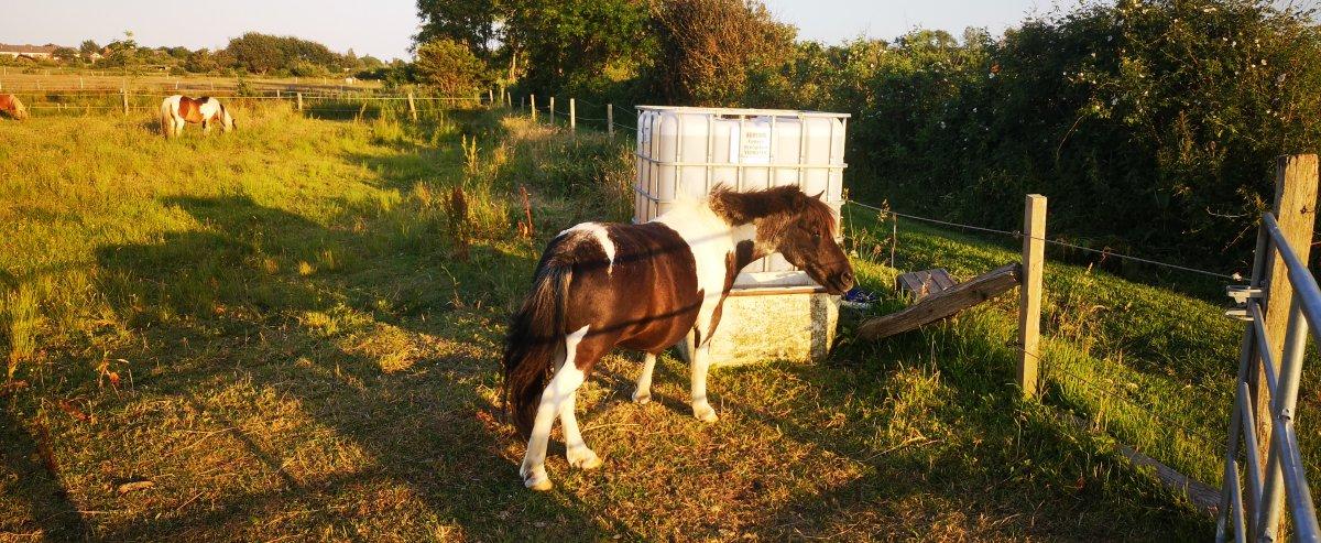 Reiten auf Borkum Pferde auf Wiese
