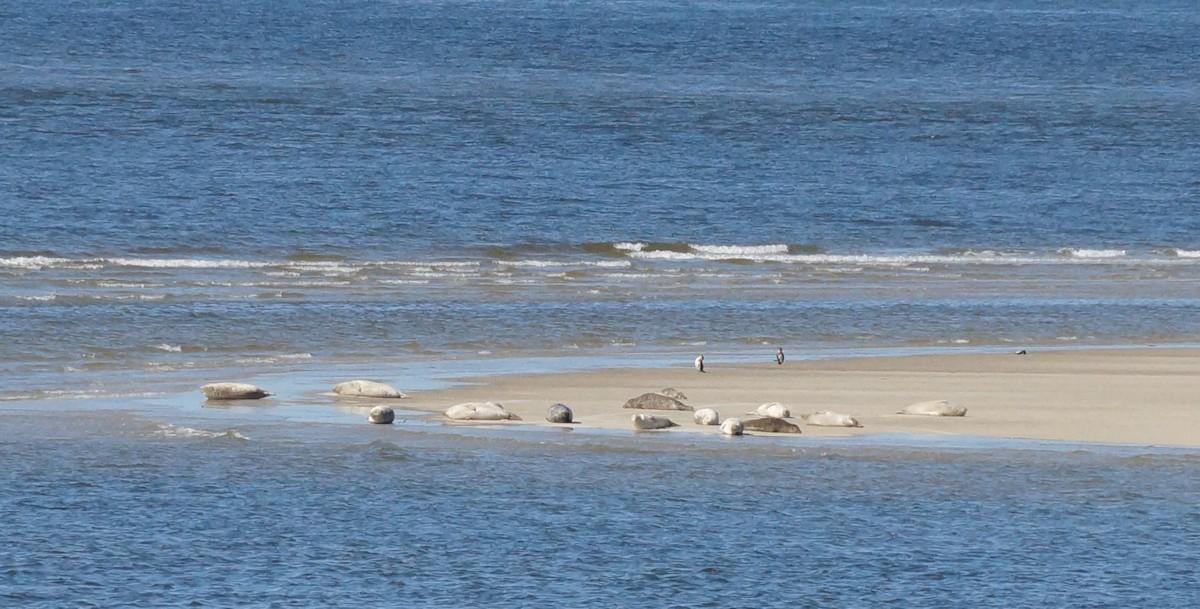 Robben / Seehunde auf einer Sandbank bei Borkum
