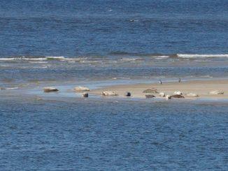 Seehunde vor Borkum